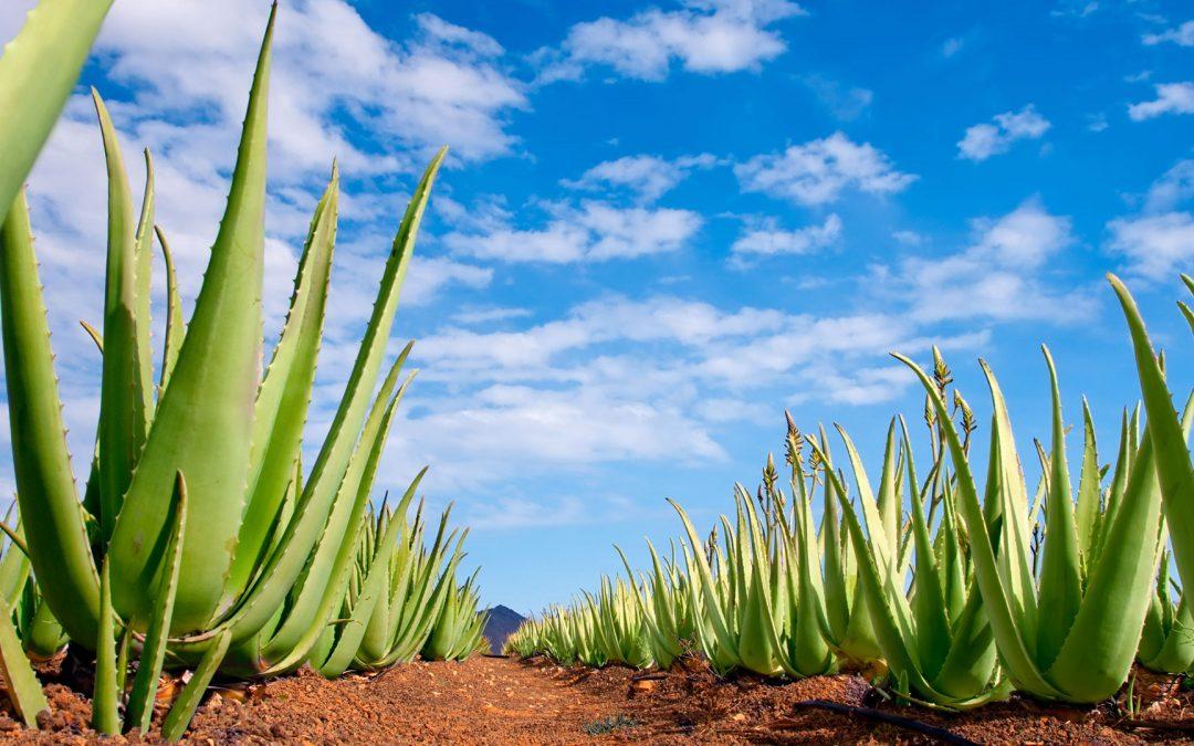 Aloe Vera Delle Canarie Una Fonte Di Salute E Bellezza Per Tutto Il Corpo Fuerteguest